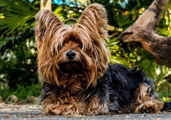 Câinii de talie mică sunt populari